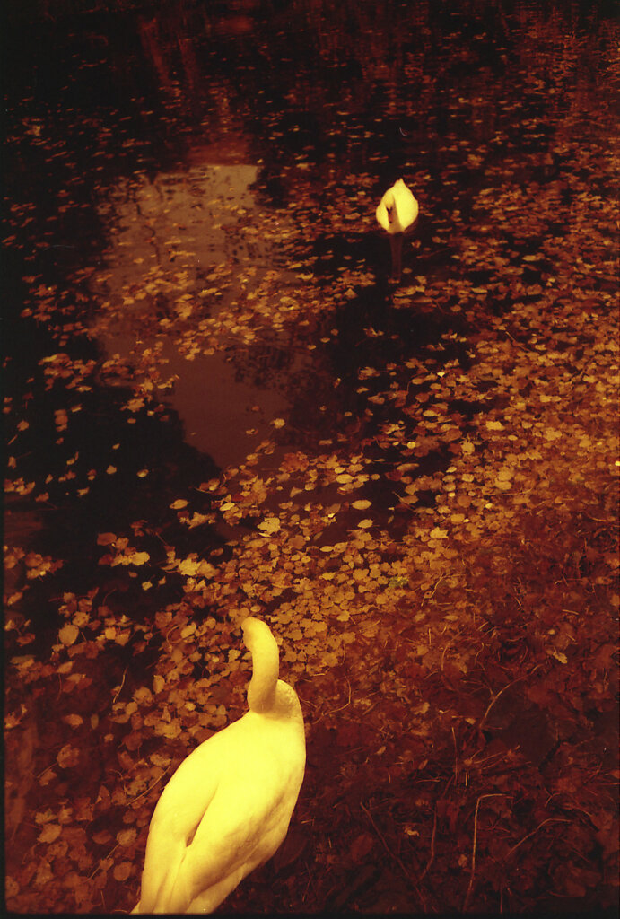 Swans in redscale
